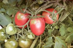 Tomatoes ripen on the branches of a Bush. Large ripe tomatoes ripen in the garden among the green leaves. Presents closeup Royalty Free Stock Images