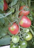 Tomatoes ripen on the branches of a Bush. Large ripe tomatoes ripen in the garden among the green leaves. Presents closeup Stock Photo