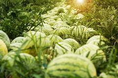 Large ripe watermelons on the farm, harvesting. Sunny sunset stock photo