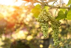 Large ripening bunch of white grape on the vine Stock Photos