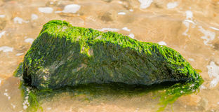 Large rock covered with green seaweed Stock Photos