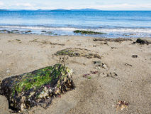 Large rock covered in seaweed on sandy ocean beach Stock Photography