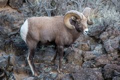 Large Rocky Mountain bighorn sheep ram in the Rio Grande Gorge near Taos, New Mexico royalty free stock images