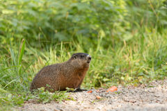 Large rodent at the side of the road Stock Images