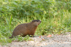 Large rodent at the side of the road Stock Photo