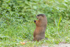 Large rodent at the side of the road Stock Photography