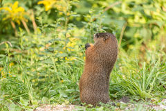 Large rodent at the side of the road Royalty Free Stock Photo
