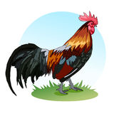 A large rooster with colored feathers. The crest and bushy tail Royalty Free Stock Photography