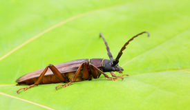 Large root borer beetle closeup Stock Photo