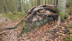 Large root-covered stone on a leaf covered hiking trail stock video footage