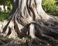 Large roots of a big tree Royalty Free Stock Photos