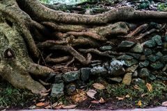 Large roots on the soil and rocks. With fallen leaves Stock Photos