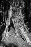 Large rotten tree stump Stock Photography