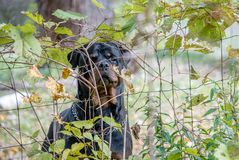 A large rottweiler dog watches carefully through a wire fence royalty free stock photography