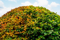 Large round boxwood bush in a park Royalty Free Stock Photos
