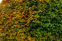 Large round boxwood bush in a park Royalty Free Stock Images