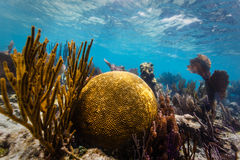 Large round brain coral and branch coral on tropical coral reef  Stock Photography