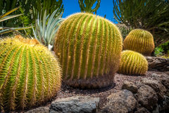 Large round cactuses Royalty Free Stock Photos