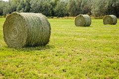 Large round hay bales. Huge alfalfa hay bales wait for pickup in the farmers field royalty free stock images