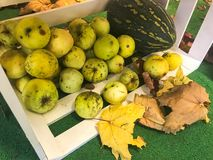 Large round juicy ripe green apples in a wooden box scattered on the floor and dry fallen yellow fallen leaves stock photo