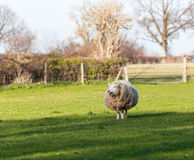 Large round sheep in meadow in Wales Royalty Free Stock Photos