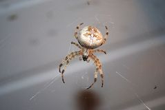 Large spider. Large round spider on a web stock photo