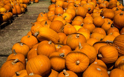 Large Row of Pumpkins at Halloween Pumpkin Patch in Round Rock , Texas Royalty Free Stock Photography