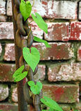 Large rusty chain entwined with ivy against the wall in defocus Royalty Free Stock Images