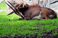 Large Sable Antelope Stock Photography