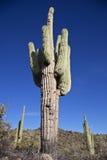 Large Saguaro Cactus Royalty Free Stock Image