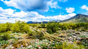 A large Saguaro Cactus blown over in the semi desert landscape of the McDowell Mountain Range. Near Scottsdale, Arizona, United States of America royalty free stock photography