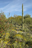 Large saguaro cactus and desert bloom in Saguaro National Park West, Tucson, AZ Stock Photo