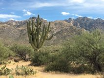 Large saguaro. Cactus in the desert with a mountain backdrop in Arizona stock photography
