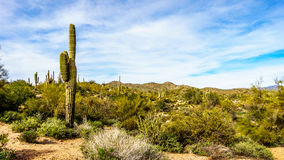 Large Saguaro Cactus and many other cacti and shrubs in the mountainous desert landscape near Lake Bartlett Stock Images