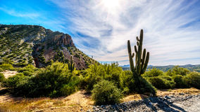 Large Saguaro Cactus and many other cacti and shrubs in the mountainous desert landscape near Lake Bartlett Stock Photography