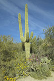 Large saguaro cactus in spring in Saguaro National Park West, Tucson, AZ Stock Photo