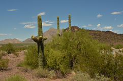 Saguaro cactus in desert landscape day. Large saguaro cactus stand tall against mountain range backdrop in Sonoran desert landscape Royalty Free Stock Photography