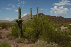 Saguaro cactus in desert landscape day. Large saguaro cactus stand tall against mountain range backdrop in Sonoran desert landscape Stock Images