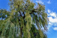 Large Salix babylonica Babylon willow or weeping willow Royalty Free Stock Images