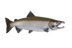 Large Salmon isolated on white background. Large pristine salmon isolated on white background Stock Photography