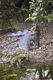 Large Salt Water Crocodile Stock Images