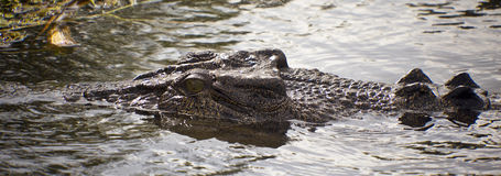 Large Salt Water Crocodile Royalty Free Stock Photo