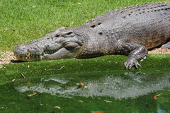 Large salt water crocodile (Crocodylus porosus). Sitting on edge of water in captivity Royalty Free Stock Image