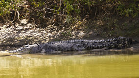 Large saltwater crocodile Royalty Free Stock Photo