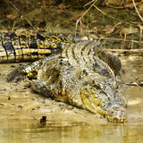Large saltwater crocodile Royalty Free Stock Photos