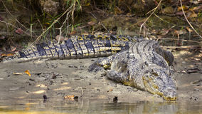 Large saltwater crocodile Stock Photo