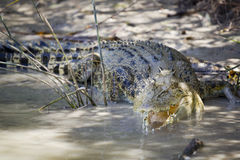 Large saltwater crocodile Stock Images
