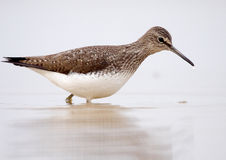 Large sandpiper Royalty Free Stock Photo