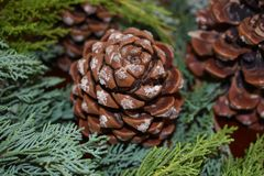 Nestled Pine Cones. Large sappy pine cones nestled in a bed of juniper branches provides a bouquet of winter beauty Stock Images