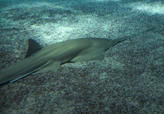 Large sawfish, also known as carpenter shark. Large sawfish, also known as carpenter shark Stock Photography